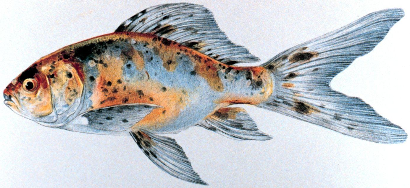 Black Goldfish Types Zalaczone miniatury