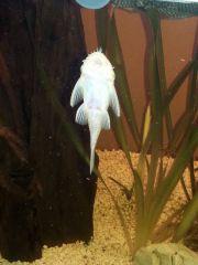 Glonojad Zbrojnik Niebieski Samiec - albinos