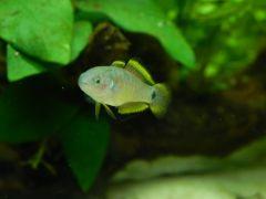 Głowaczyk barwny - samica