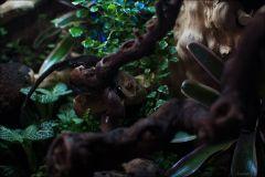 gekon orzęsiony (Correlophus ciliatus)