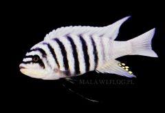 M.Z.Ch. Maison Reef