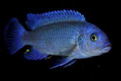 Metriaclima Callainos Cobalt Blue